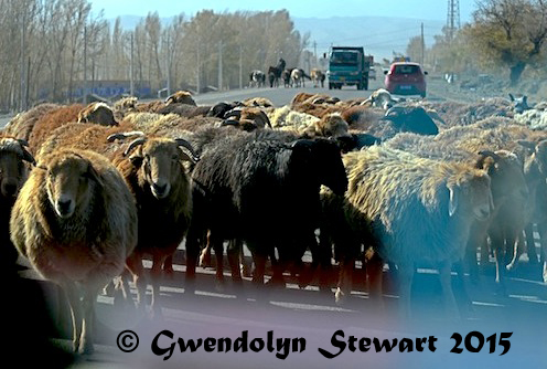 Sheep Being Herded on the Road, Xinjiang, China, Photographed by Gwendolyn Stewart, c. 2015; All Rights Reserved